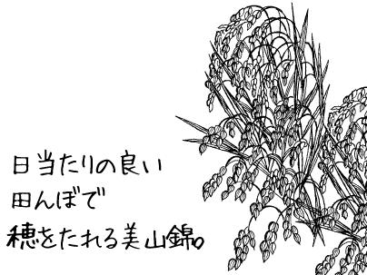 日当たりの良い田んぼで穂をたれる美山錦。